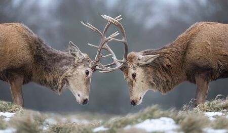 Close-up of Red deer stags fighting in winter, UK.