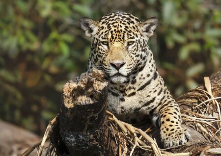Close up of a Jaguar lying on a fallen tree, Pantanal, Brazil.
