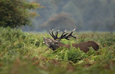 Close-up of red deer stag calling during rutting season in autumn, UK. 版權商用圖片 - 134227227