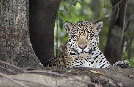 Close up of a Jaguar lying on a tree, Pantanal, Brazil. Stock Photo