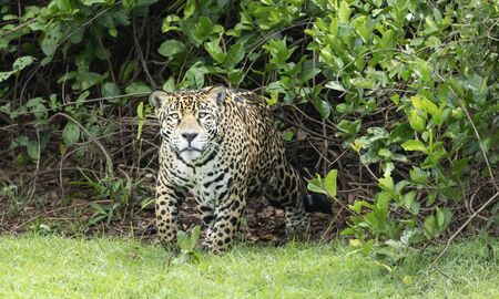 Close up of a Jaguar coming from bushes, Pantanal, Brazil. Stock Photo
