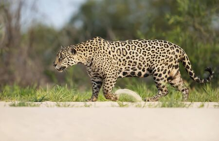 Close up of a Jaguar walking along the river bank, Pantanal, Brazil.