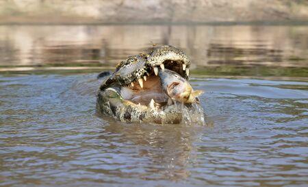 Close up of a Yacare caiman (Caiman yacare) eating piranha, South Pantanal, Brazil. Banque d'images