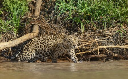 Close up of a Jaguar walking in water, Pantanal, Brazil.