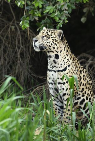 Close up of a Jaguar on a river bank, Pantanal, Brazil.