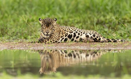 Close up of a Jaguar on lying on a river bank, Pantanal, Brazil.