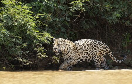 Close up of a Jaguar walking in water along the river bank, Pantanal, Brazil.