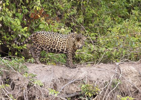 Close up of a Jaguar standing on a river bank, Pantanal, Brazil.