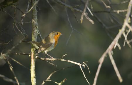 European Robin perching on a tree branch, UK.