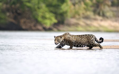 Close up of a Jaguar stalking prey in water, Pantanal, Brazil.
