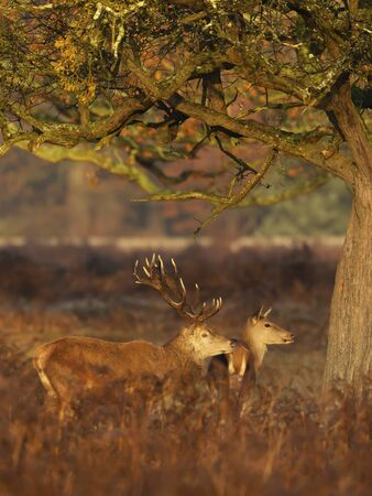 Close-up of a red deer stag with hind during rutting season in autumn, UK. Stock fotó