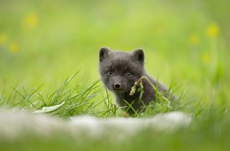 Close-up of a cute Arctic fox cub in the meadow, Iceland. Stock Photo
