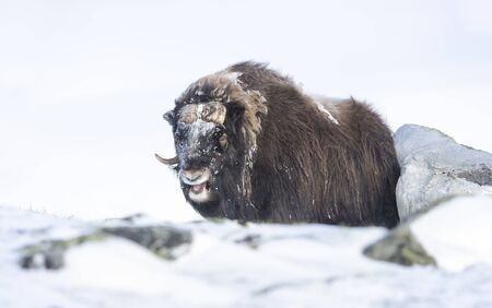 Close up of a male Musk Ox standing in snow, Dovrefjell mountains, Norway.