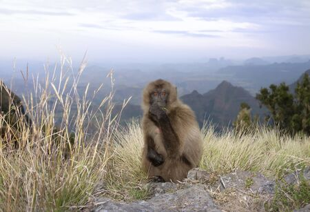 Close up of a Gelada monkey grazing in the evening light, Simien mountains, Ethiopia.