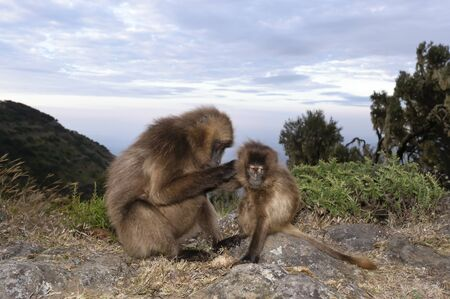 Close up of a mother Gelada monkey grooming baby, Simien mountains, Ethiopia.