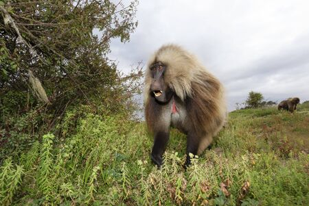 Close up of a male Gelada monkey (Theropithecus gelada) eating grass in Simien mountains, Ethiopia.