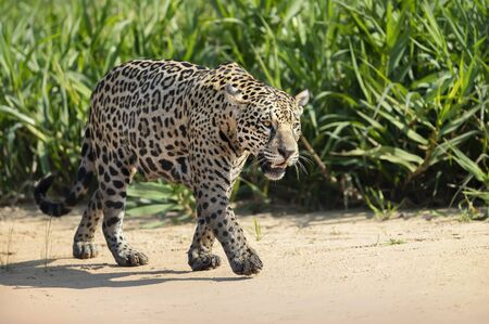 Close up of a Jaguar walking on sand along the river bank, Pantanal, Brazil. Stock Photo