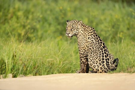 Close up of a Jaguar sitting on a river bank, Pantanal, Brazil. Stock Photo