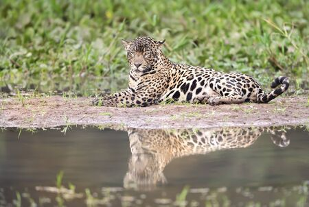 Close up of a Jaguar lying on a river bank, Pantanal, Brazil. Stock Photo