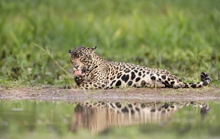 Close up of a Jaguar licking its leg, Pantanal, Brazil.