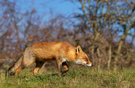 Close up of a young Red fox (Vulpes vulpes) walking in natural habitat. Stock Photo