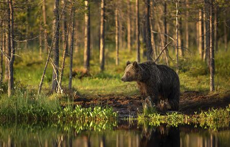 Male brown bear standing by a pond on a sunny summer day, Finland.