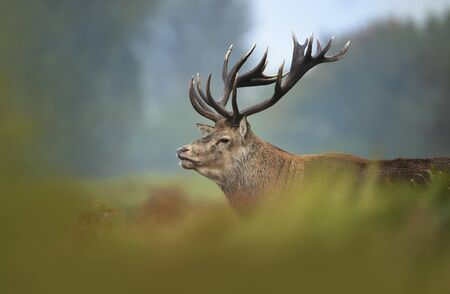 Close-up of red deer stag, autumn in UK.