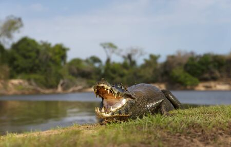 Close up of a Yacare caiman (Caiman yacare) with open mouth on a river bank, South Pantanal, Brazil.