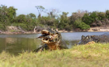 Close up of a Yacare caimans (Caiman yacare) eating piranha on the river bank, South Pantanal, Brazil. Stock Photo - 147713932