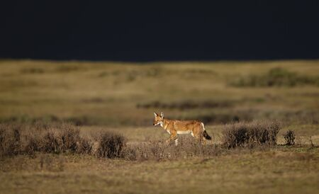 Ethiopian wolf (Canis simensis) in the highlands of Bale mountains before storm, Ethiopia.
