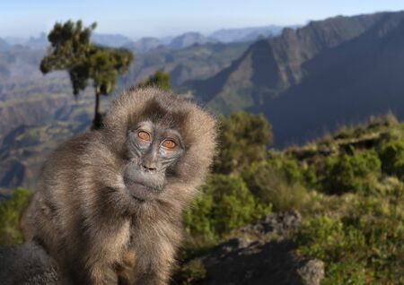 Close up of a female Gelada monkey sitting on a rock, Simien mountains, Ethiopia.