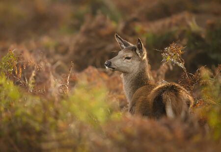 Close up of a red deer calf in ferns, autumn in UK. Stock Photo