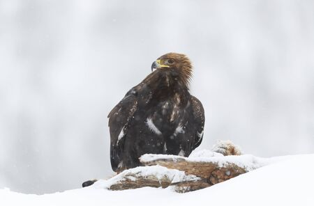 Close up of a Golden Eagle (Aquila chrysaetos) in winter, Norway.