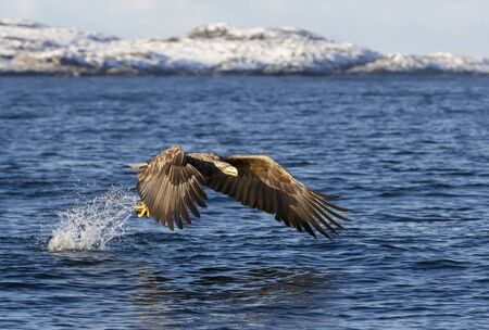 Close up of a White-tailed sea Eagle (Haliaeetus albicilla) in flight with a fish in claws, Norway.