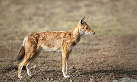 Close up of a rare and endangered Ethiopian wolf (Canis simensis) in the highlands of Bale mountains, Ethiopia. Stock Photo - 147713987