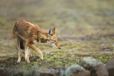 Close up of Ethiopian wolf (Canis simensis) in the highlands of Bale mountains, Ethiopia. Stock Photo - 147713988