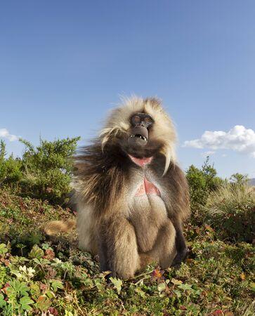 Close up of a male Gelada monkey (Theropithecus gelada) sitting in grass, Simien mountains, Ethiopia. Stock Photo - 147713990