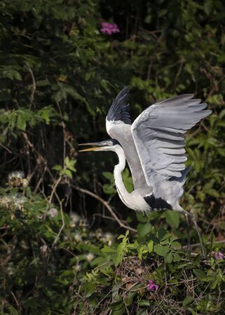 Close up of a Cocoi heron with open wings, Pantanal, Brazil. Stock Photo - 147713992
