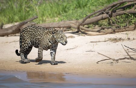 Close up of a Jaguar on a river bank in natural habitat, Pantanal, Brazil. Stock Photo