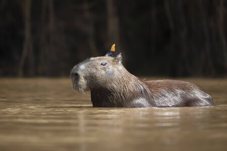 Close up of a Capybara in water with a butterfly on the head, South Pantanal, Brazil. Stock Photo