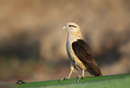 Close up of a Yellow-headed caracara (Milvago chimachima) perched on a green boat, South Pantanal, Brazil. Stock Photo - 147714002