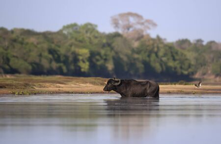 Wild water buffalo crossing the river in Pantanal, Brazil. Stock Photo - 147714003
