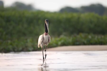 Close up of Jabiru standing in river, Pantanal, Brazil. Banco de Imagens