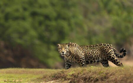 Close up of a Jaguar walking on a river bank, South Pantanal, Brazil.