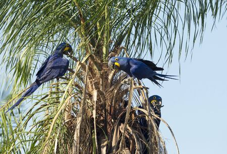 Close up of Hyacinth macaws perched in a palm tree, South Pantanal, Brazil.