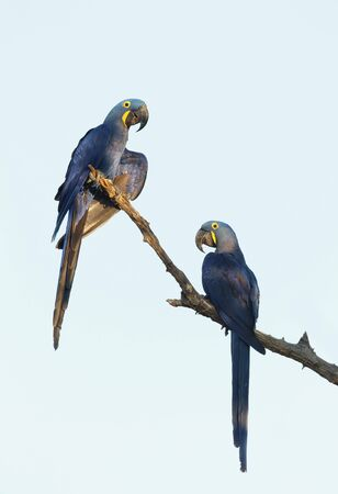 Close up of two Hyacinth macaw perched in a palm tree, South Pantanal, Brazil.