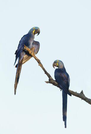 Nahaufnahme von zwei Hyazinth-Ara thront in einer Palme, South Pantanal, Brasilien.