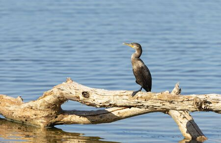 Close up of a Neotropic cormorant (Phalacrocorax brasilianus) perched on a tree branch on a river bank, South Pantanal, Brazil.