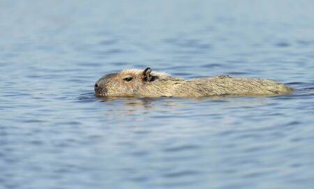 Close up of a Capybara swimming in a river, South Pantanal, Brazil. Stock Photo - 148498435