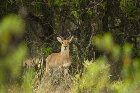 Close up of a Bohor Reedbuck in Gaysay Grasslands, Ethiopia.